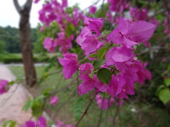 74 Langkawi flower