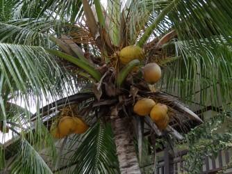30 Coconut palm in Lanai